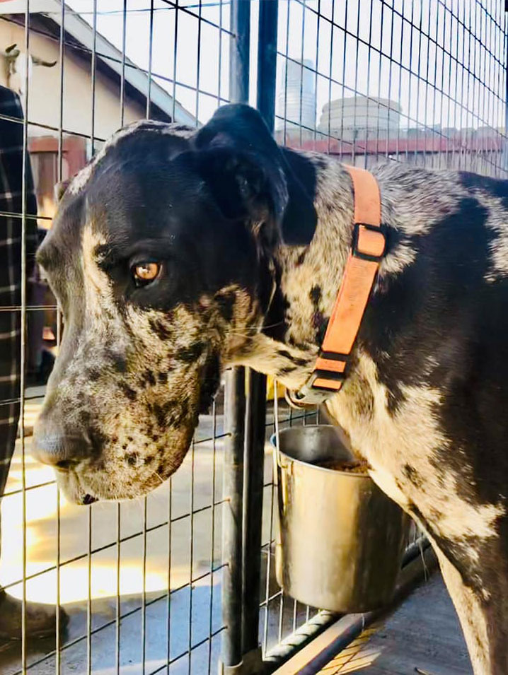 Harley - One Dane at a Time