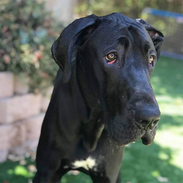 Draco - One Dane at a Time
