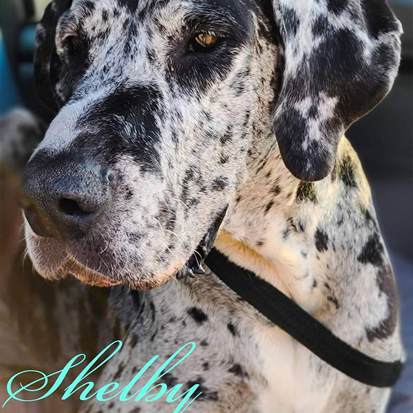 Shelby - One Dane at a Time
